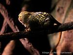 Pygmy Marmoset (Cebuella pygmaea) at the Oregon Zoo
