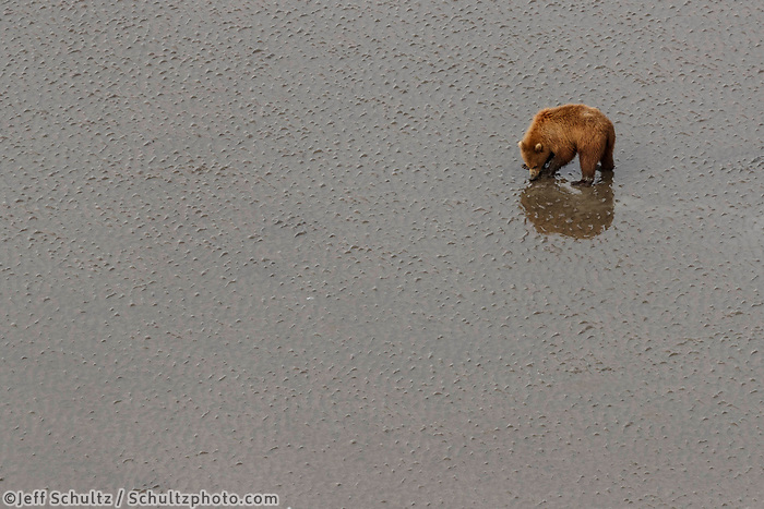 Aerial view of Brown Bear clamming at low tide in Cook Inlet shore  in Lake Clark National Park.  Silver Salmon Creek area. Western Alaska  Summer<br /> <br /> Photo by Jeff Schultz/  (C) 2020  ALL RIGHTS RESERVED