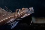 Windowpane Flounder close-up