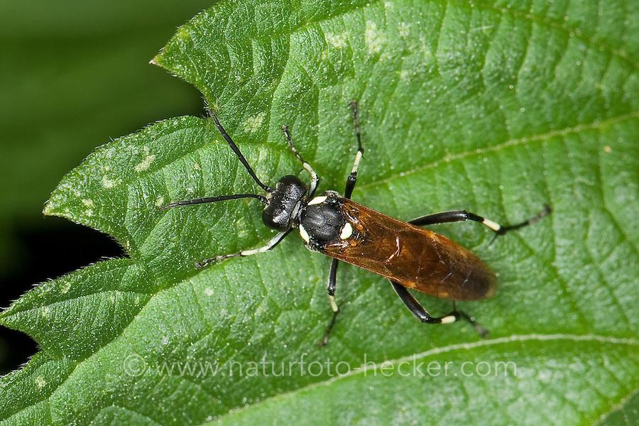 Zwölfpunkt-Blattwespe, Blattwespe, Weibchen, Macrophya duodecimpunctata, Sawfly, Saw-fly