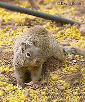0613-1109  Rock Squirrel (Ground Squirrel) Digging into the Ground, Pregnant Female, Spermophilus variegatus (Otospermophilus variegatus)  © David Kuhn/Dwight Kuhn Photography