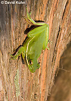 1218-1012  American Green Treefrog Climbing Tree, Hyla cinerea  © David Kuhn/Dwight Kuhn Photography