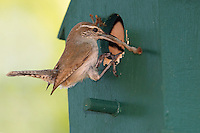 This Carolina Wren is at an impasse with its nest building.<br />