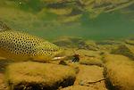 Underwater brown trout