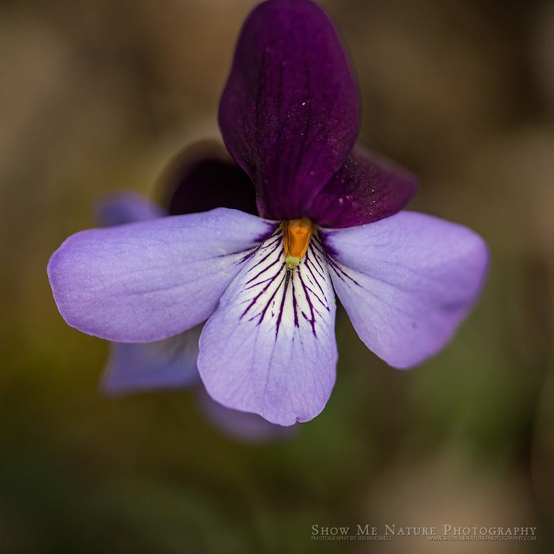 Bird's Foot Violet wildflower, a spring Missouri wildflower