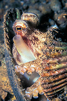 coconut octopus, or veined octopus, Amphioctopus marginatus, in den made of seashells, Batangas, Philippines, Pacific Ocean