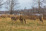White-tailed doe and three fawns