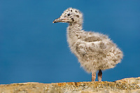 Herring Gull chick (Larus argentatus) stands on a rocky ledge a few feet from its nest in late July on the coast of eastern Newfoundland, Newfoundland and Labrador, Canada.