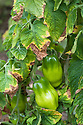 Tomato leaves going yellow or brown and dying off is most likely caused by overwatering or underwatering. If the edges or tips of the leaves are drying up, turning brown, and dying, it's probably also too hot during the day and insufficiently humid.