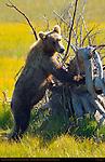 Alaskan Coastal Brown Bear, Juvenile on Fallen Tree, Silver Salmon Creek, Lake Clark National Park, Alaska