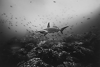 Hammerhead Shark and Whitetip Reef Shark, ocean, Costa Rica