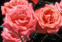 Rose 'Tropicana' coral pink salmon colored flowers, long stemmed fragrant hybrid