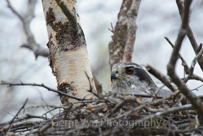 Adult female Northern Goshawk incubating on nest. Yukon Delta National Wildlife Refuge, Alaska. June.