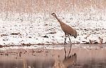 Sandhill Crane mid-March in southern Michigan
