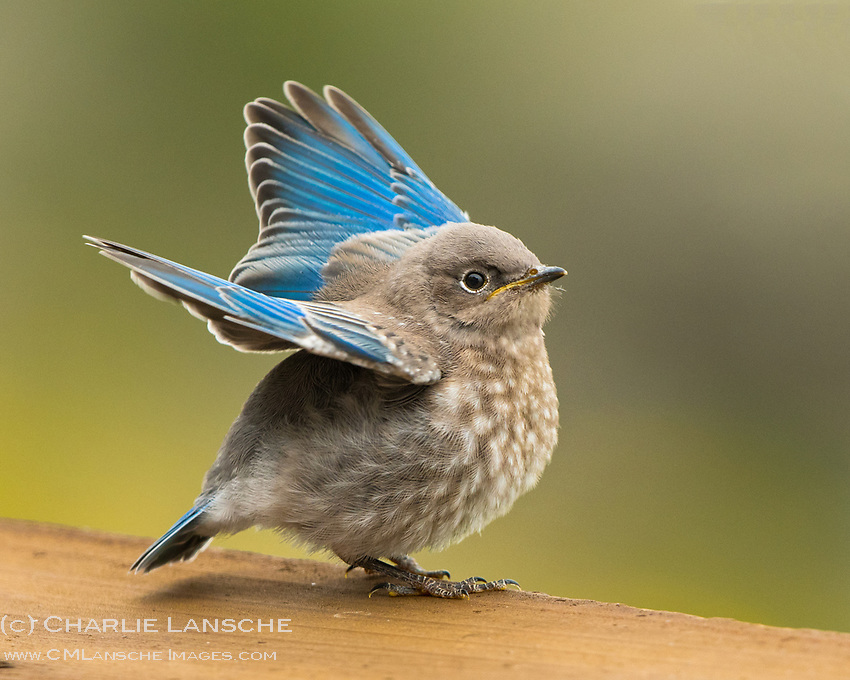 Baby Blue. A delightful surprise this morning when this fledgling blue bird landed on our porch. Before long mama flew in with a few fresh bugs for breakfast, then dad joined in with another round. All the while, snow was falling in the high country around us. A summer day in Island Park, Idaho. I'll post a few pics of feeding time another day. July.