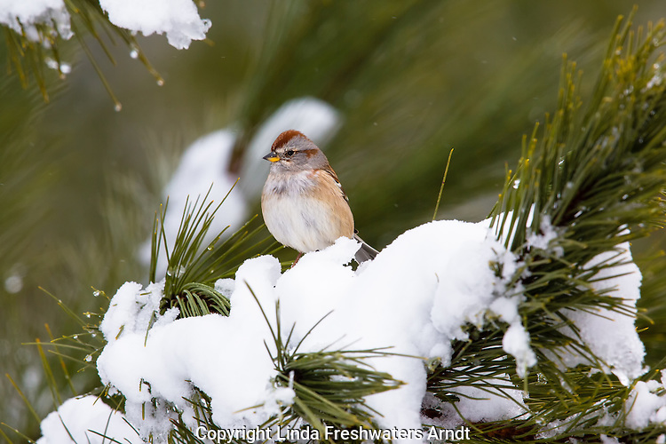 American tree sparrow on a snow-covered spruce