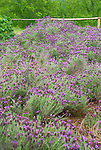 Monticello. Thomas Jefferson estate garden. French Lavender