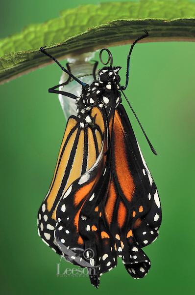 MONARCH BUTTERFLY life cycle..Drying wings on Joe-Pye Weed..North America. Danaus plexippus.