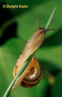 1Y08-142z  Snail, east coast land snail, Sephia hortensis