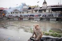A monkey sits near burning ghats, at Pashupati Nath temple in Kathmandu, Nepal