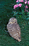 Burrowing owl Speotyto cunicularia diurnal bird<br />