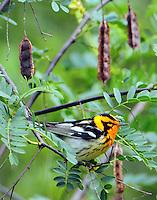 Adult male Blackburnian warbler