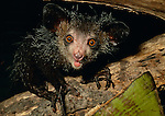 Aye-aye (Daubentonia madagascariensis) feeding on coconut. Endemic to Madagascar. Photographed in the wild in north east Madagascar.