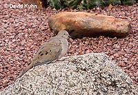 0724-1001  Mourning Dove in Arizona Desert, Zenaida macroura  © David Kuhn/Dwight Kuhn Photography