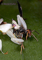 "0724-07xx  Malaysian Orchid Mantis Consuming Prey - Hymenopus coronatus ""Nymph"" - © David Kuhn"