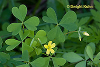 FY17-500z Yellow wood sorrel, Oxalis stricta