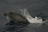 bottlenose dolphin, Tursiops truncatus, with food in mouth, Azores Islands, Portugal, North Atlantic
