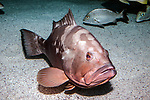 Red grouper sitting on sand habitat looking at camera mouth open