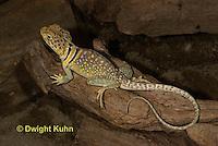 1R17-565z  Collared Lizard, Male, Crotaphytus collaris