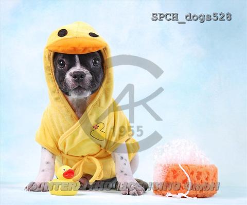Xavier, ANIMALS, dogs, photos(SPCHdogs528,#A#) Hunde, perros