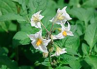 White potato flowers close-up.