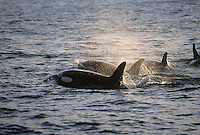 Killer whale Orcinus Orca Group surfacing at speed during hunt. Tysfjord, Arctic Norway
