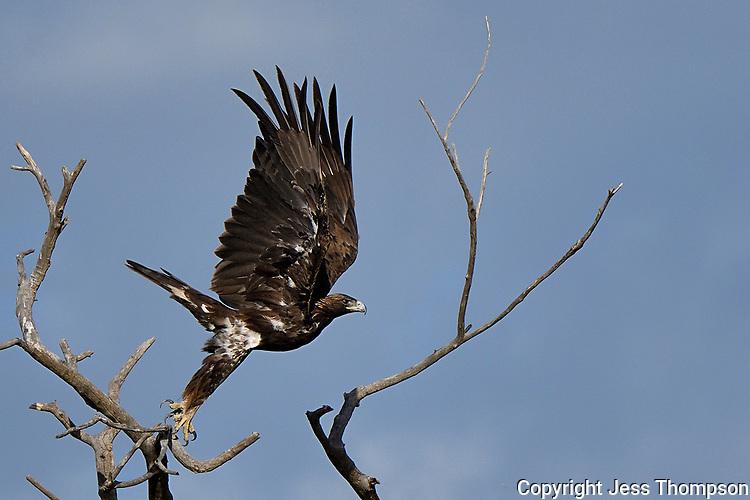 Immature Golden Eagle, Texas roadside south of Fort Stockton