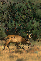 628850070v a wild male or bull with full antler rack tule elk cervus nannodes forage in a field surrounded by a flight of red-winged blackbirds agelaius phoenicius in inyo county california