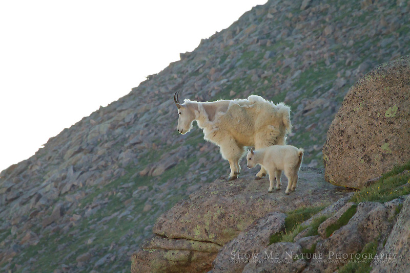 Mountain Goat ewe and kid looking over the valley