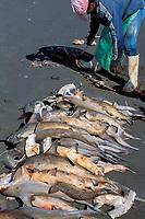 Mexican fisherman fins juvenile scalloped hammerhead sharks, Sphyrna lewini, Bahi de la Paz, Sea of Cortez, Baja, Mexico, Pacific Ocean