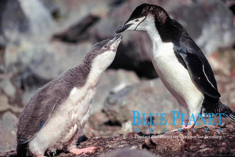 chinstrap penguin, Pygoscelis antarctica, 6 week old chick begging from parent ( both parents commute full-time to meet demands of feeding chicks ) Hannah Point, Livingston Island, Antarctica