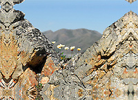 These hardy flowers thrive in a niche in some rocks along the Kongakut River, in Alaska's Arctic National Wildlife Refuge.