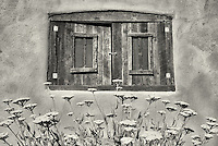 Yarrow flowers in garden with historic window in adobe house. Taos, New Mexico.