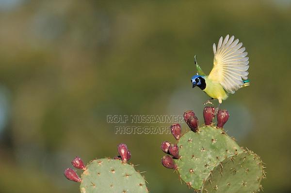 Green Jay (Cyanocorax yncas), adult landing on Texas Prickly Pear Cactus (Opuntia lindheimeri), Dinero, Lake Corpus Christi, South Texas, USA