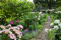 Flagstone stepping stone path between perennial beds with Peony in Illinois garden