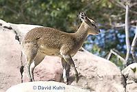 0604-1106  Klipspringer (Rock Jumper Antelope), Small Antelope on Boulders, Oreotragus oreotragus  © David Kuhn/Dwight Kuhn Photography