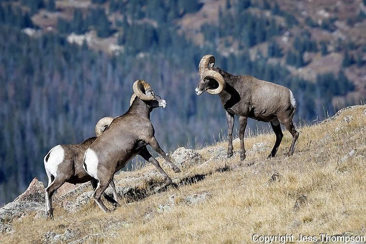 Bighorn Sheep fighting, Rocky Mountain National Park, Colorado