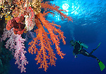 Orange and pink brightly colored soft corals with diver, boat and sunburst in the background, Shaab Mahrous, Southern Egyptian Red Sea