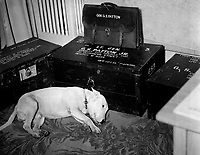 """Faithful friend mourns American hero.  Along with the many millions to mourn the passing of American hero, General George S. Patton, Jr., is his dog """"Willie,"""" the late general's pet bull terrier.  Bad Nauheim, Germany.  January 1946. INP. (OWI)<br /> Exact Date Shot Unknown"""