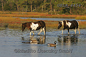 Bob, ANIMALS, REALISTISCHE TIERE, ANIMALES REALISTICOS, horses, photos+++++,GBLA4454,#a#, EVERYDAY